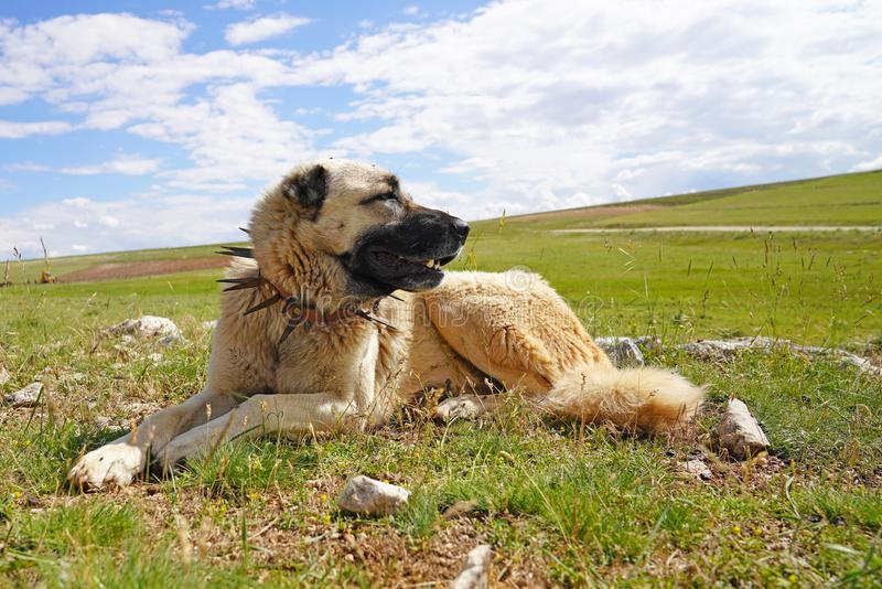 Anatolian shepherd dog with spiked iron collar lying on pasture. Spiked iron collar protects the necks of dog against wolf stock photos