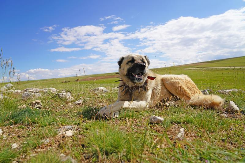 Anatolian shepherd dog with spiked iron collar lying on pasture. Spiked iron collar protects the necks of dog against wolf stock photography