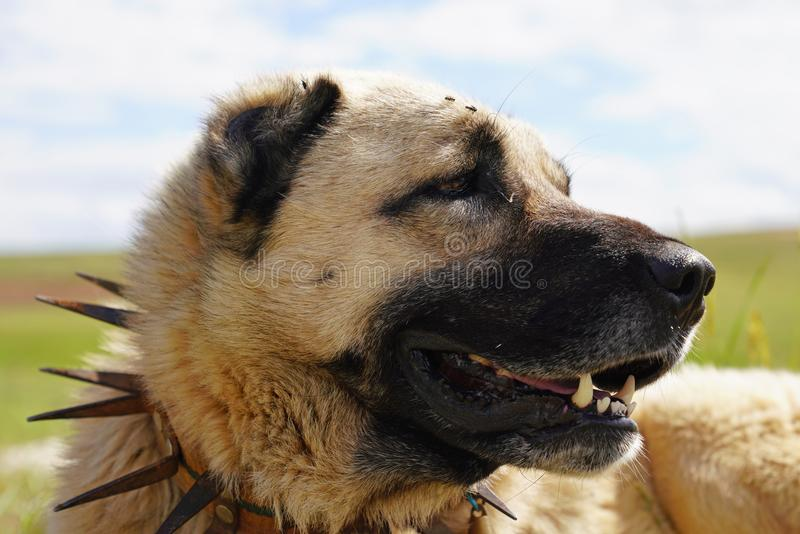 Anatolian shepherd dog with spiked iron collar lying on pasture. Spiked iron collar protects the necks of dog against wolf royalty free stock photo
