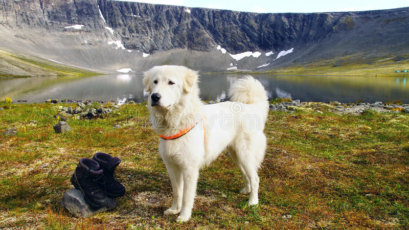 Anatolian shepherd dog. Summer mountain landscape with Anatolian shepherd dog royalty free stock photo