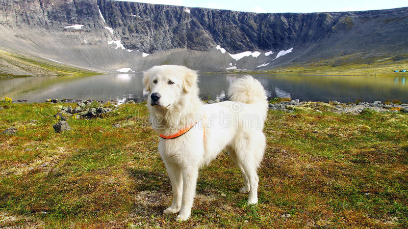 Anatolian shepherd dog. Summer mountain landscape with Anatolian shepherd dog stock images