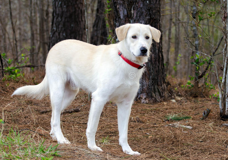 Anatolian Shepherd Pyrenees Retriever mixed breed dog. Anatolian Shepherd, White Great Pyrenees, Yellow Labrador Retriever mixed breed dog, outdoor pet royalty free stock photography