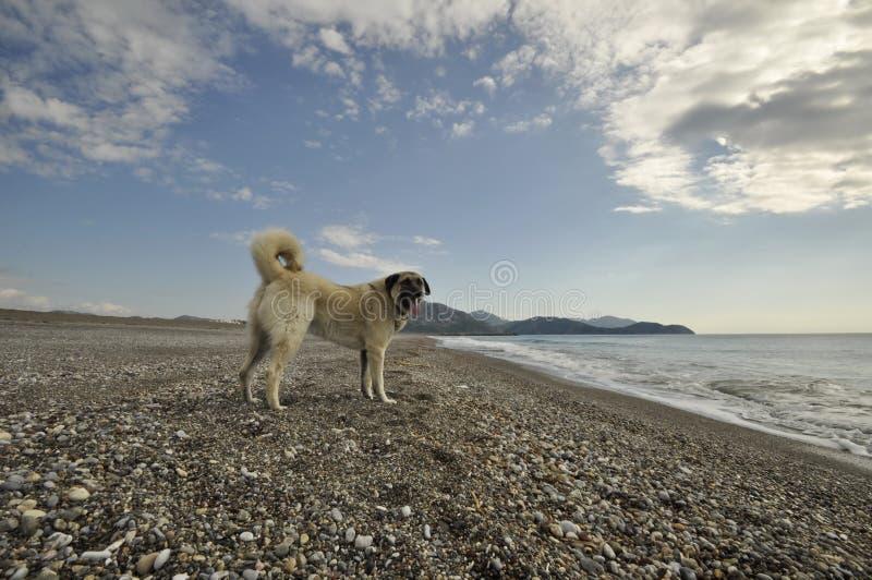 Anatolian Shepper Dog Kangal stock photography