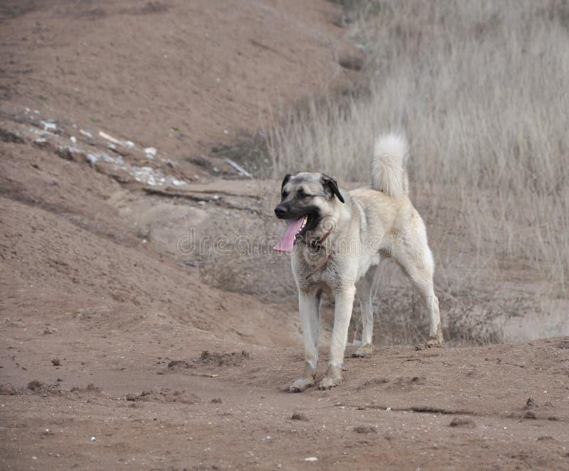 Anatolischer Schäferhund-Hund kangal lizenzfreie stockfotos