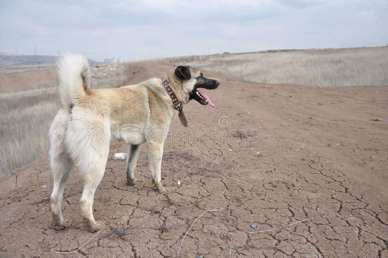 Anatolischer Schäferhund-Hund kangal stockbilder