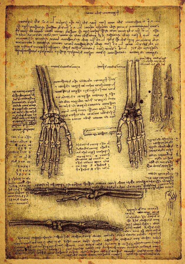 Anatomía ilustración del vector