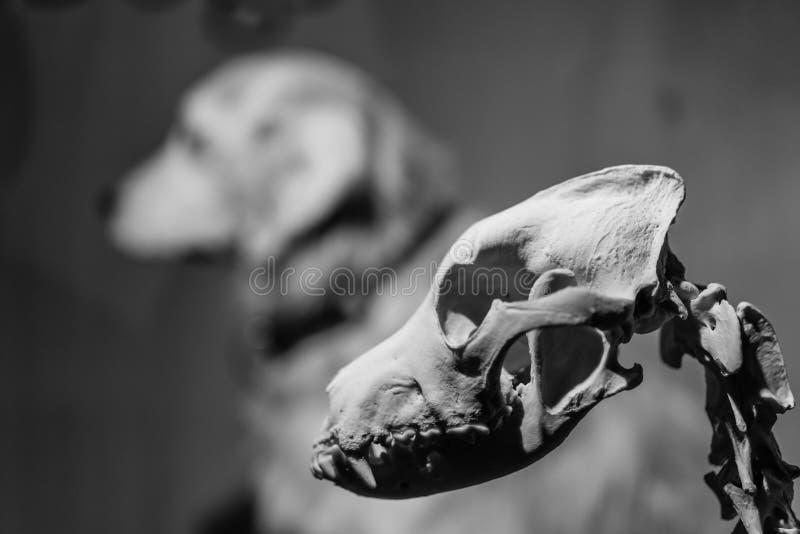 Anatomía canina esquelética del hueso de perro imagen de archivo