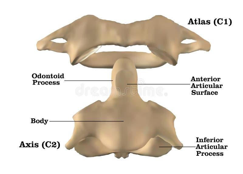 Anatomía cervical de la espina dorsal ilustración del vector