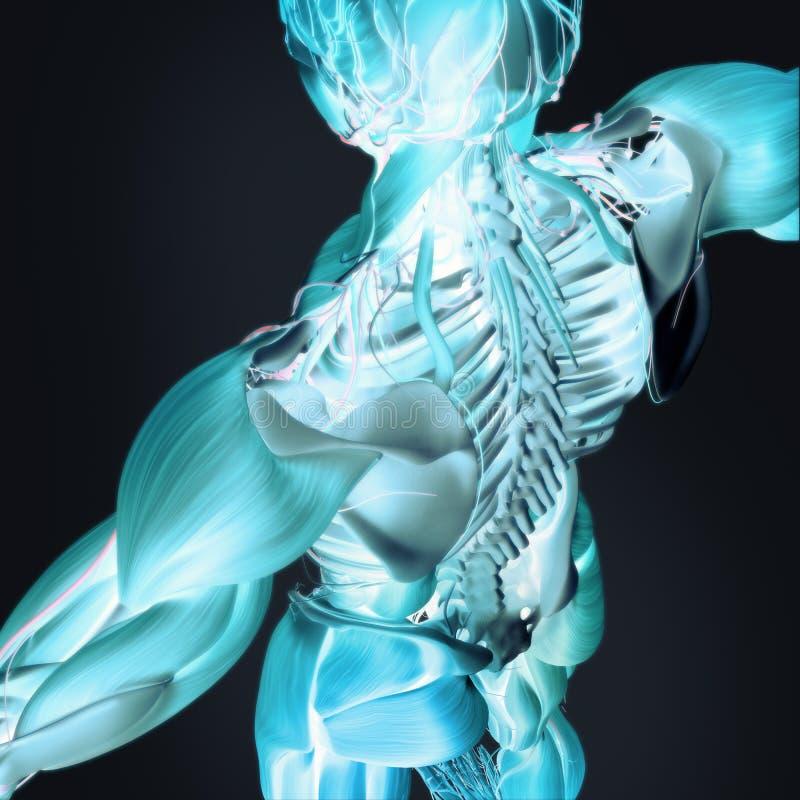 anatomía 3D de la parte posterior y de la espina dorsal foto de archivo libre de regalías