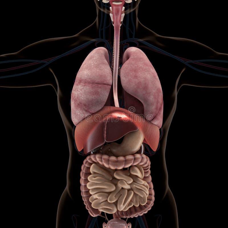 Anatomía De órganos Humanos En La Opinión De La Radiografía Stock de ...