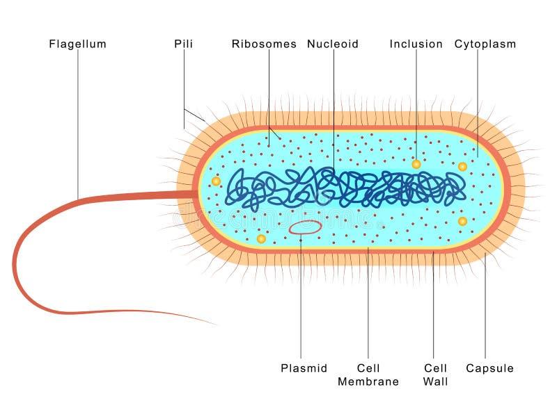 Anatomía de bacterias ilustración del vector