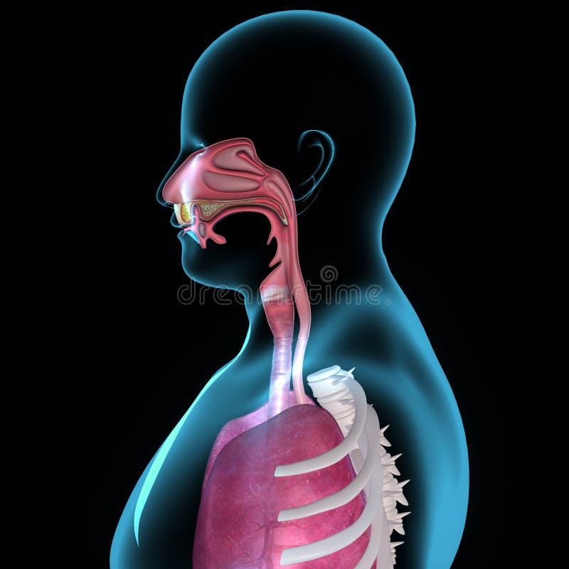 Anatomía de la boca ilustración del vector