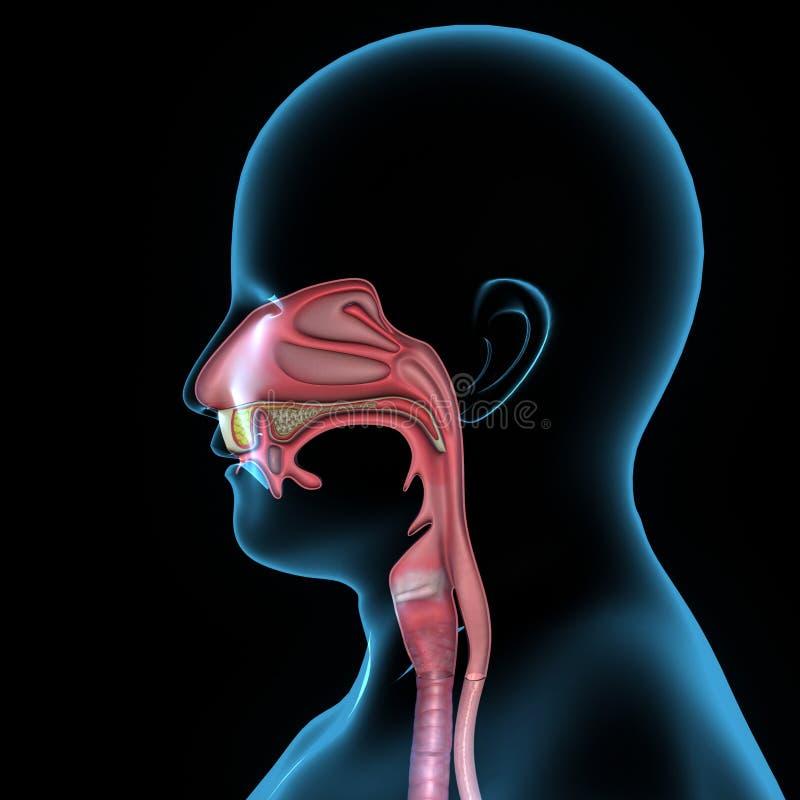 Anatomía de la boca stock de ilustración. Ilustración de viento ...