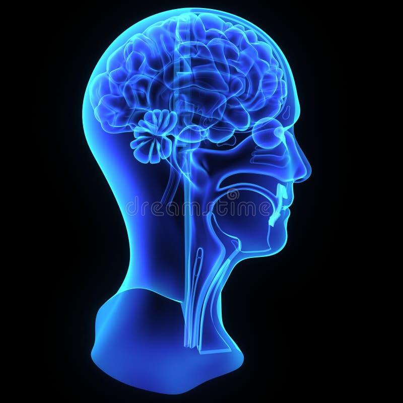 Anatomía de la cabeza y del cuello ilustración del vector