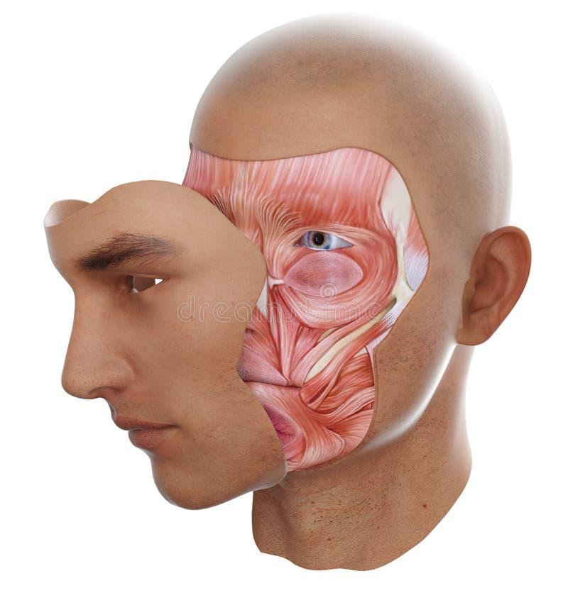 Anatomía de la cara stock de ilustración. Ilustración de hombre ...