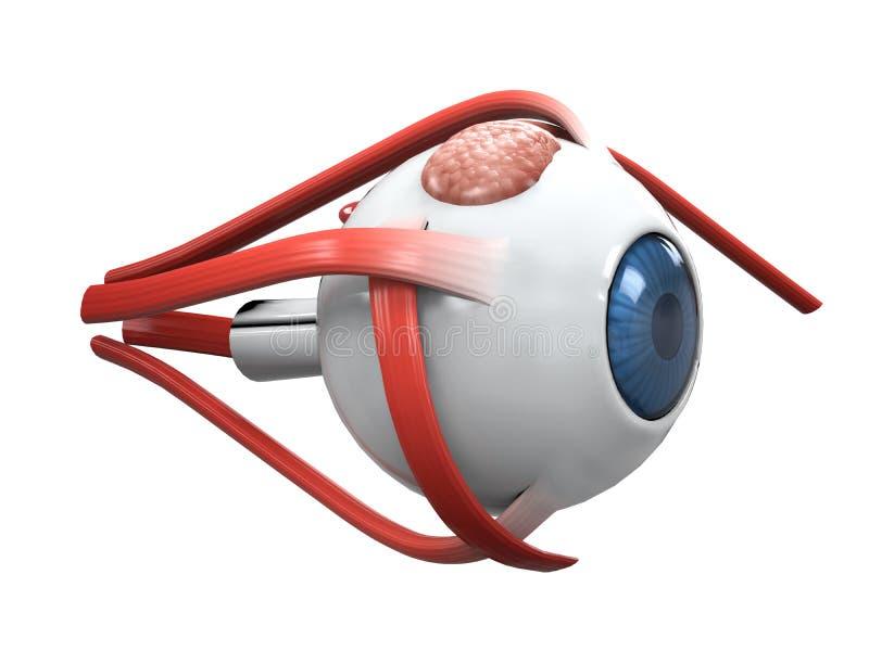 Anatomía de la disección del ojo humano libre illustration