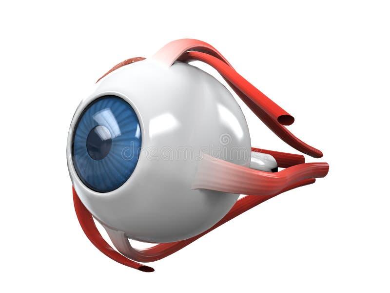 Anatomía de la disección del ojo humano ilustración del vector