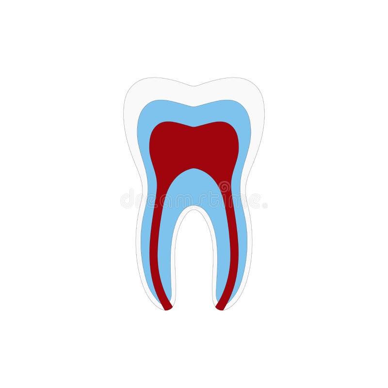 Anatomía de la estructura del diente con todas las partes incluyendo la fuente de sangre de la endodoncia de la cavidad de pulpa  stock de ilustración