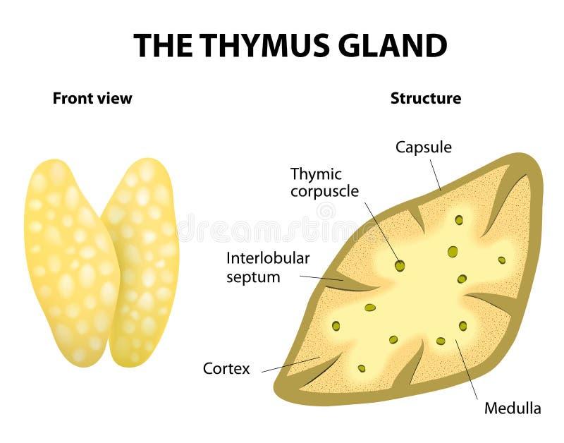 Anatomía de la glándula de Thumys ilustración del vector
