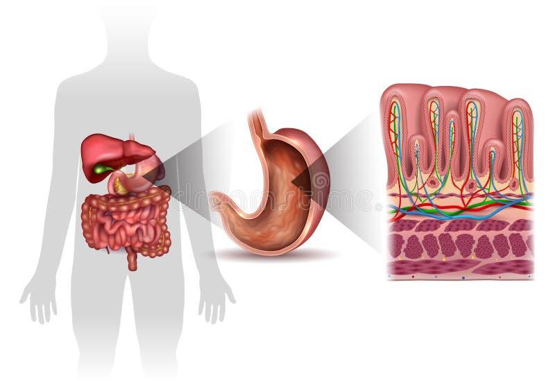 Anatomía de la guarnición del estómago ilustración del vector
