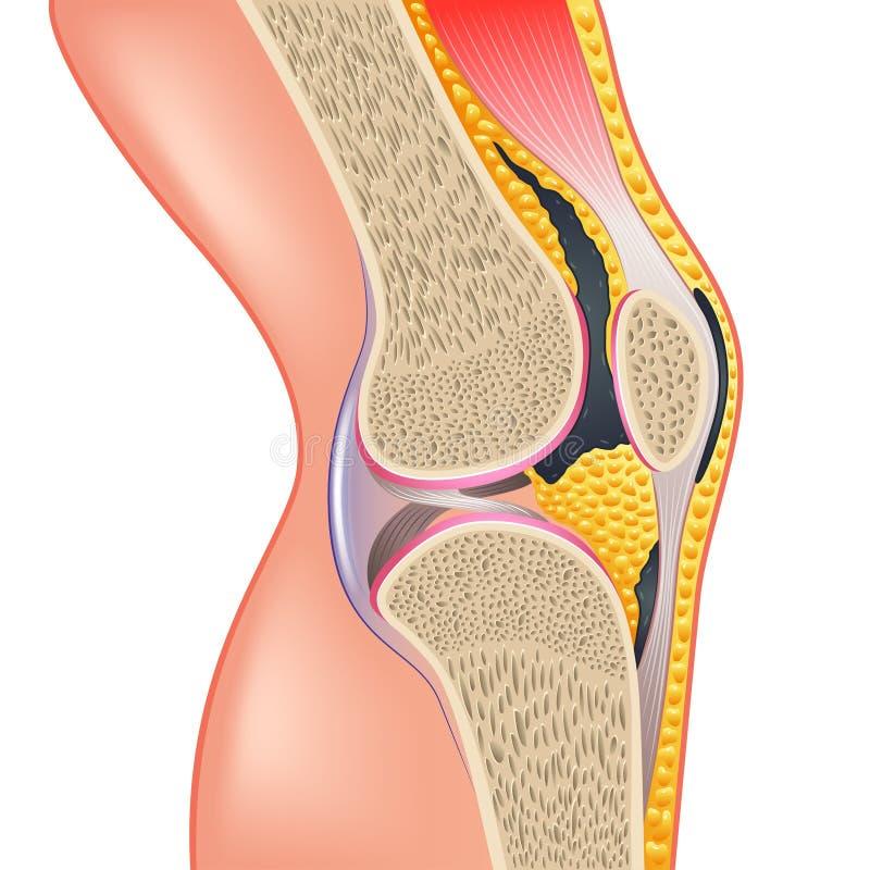 Anatomía de la junta de rodilla aislada en el vector blanco ilustración del vector