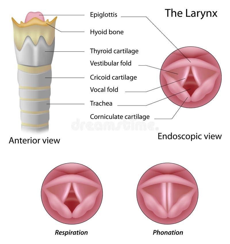 Anatomía de la laringe ilustración del vector