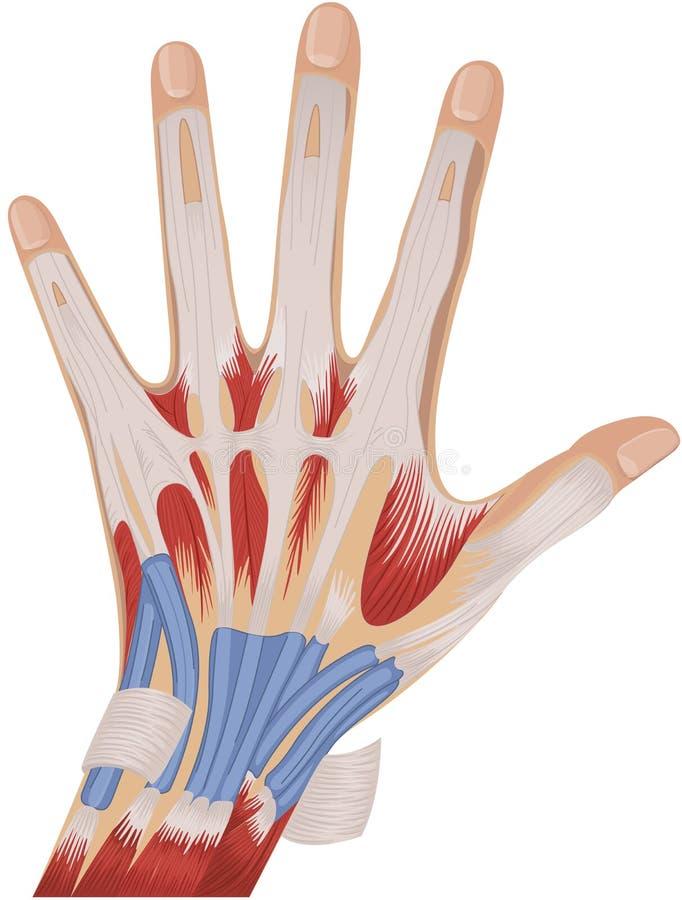 Anatomía de la mano libre illustration