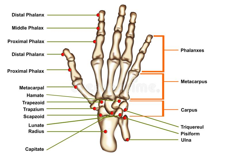 Anatomía de la mano aislada ilustración del vector