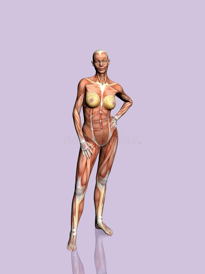 Download Anatomía de la mujer. stock de ilustración. Ilustración de abdomen - 190205