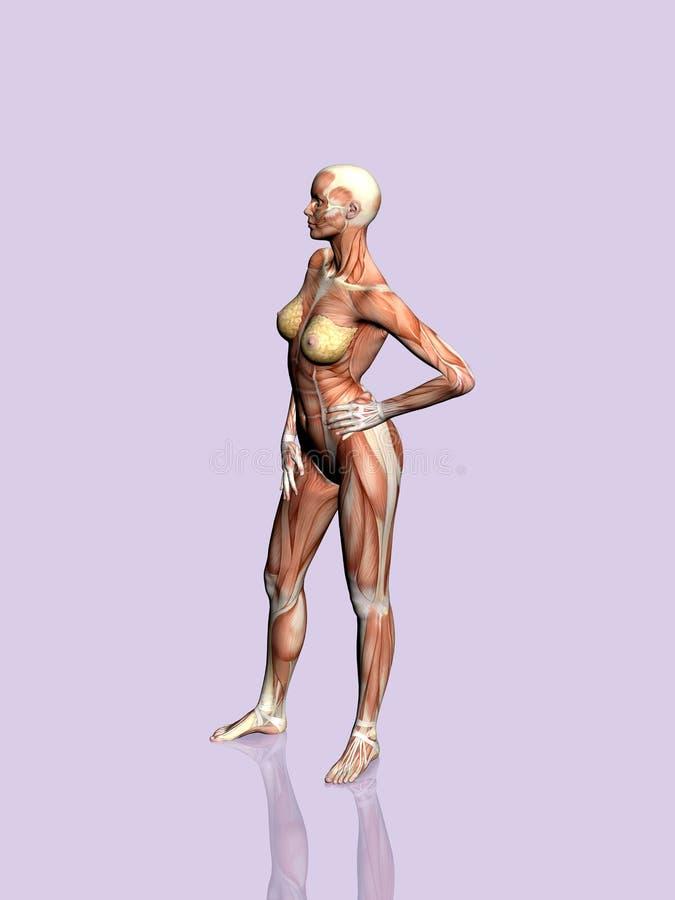 Download Anatomía de la mujer. stock de ilustración. Ilustración de brazo - 190208
