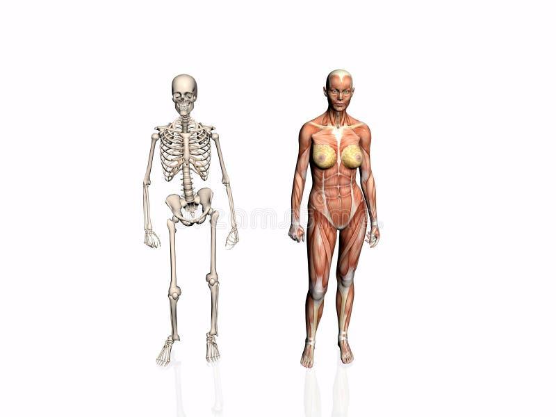 Download Anatomía De La Mujer Con El Esqueleto. Stock de ilustración - Ilustración de nanómetro, médico: 192993