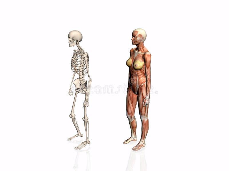 Download Anatomía De La Mujer Con El Esqueleto. Stock de ilustración - Ilustración de físico, médico: 192995