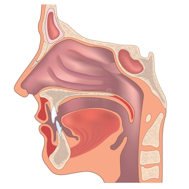 Anatomía de la nariz stock de ilustración