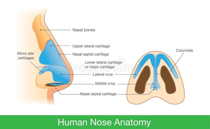 Anatomía de la nariz humana stock de ilustración