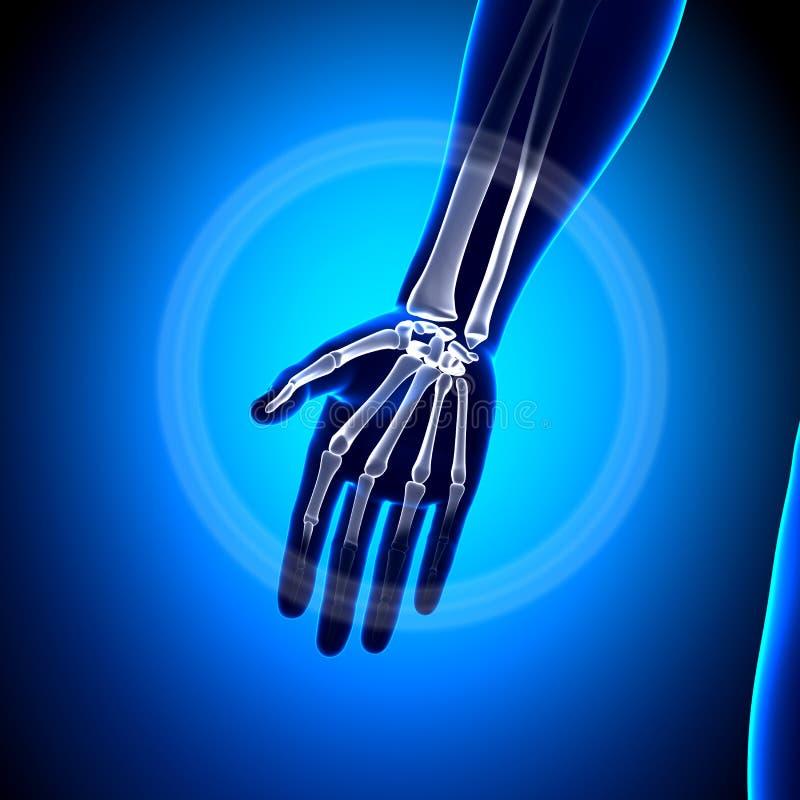 Anatomía de la palma - huesos de la anatomía ilustración del vector