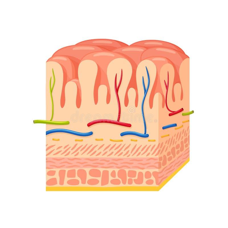 Anatomía de la pared de estómago ilustración del vector