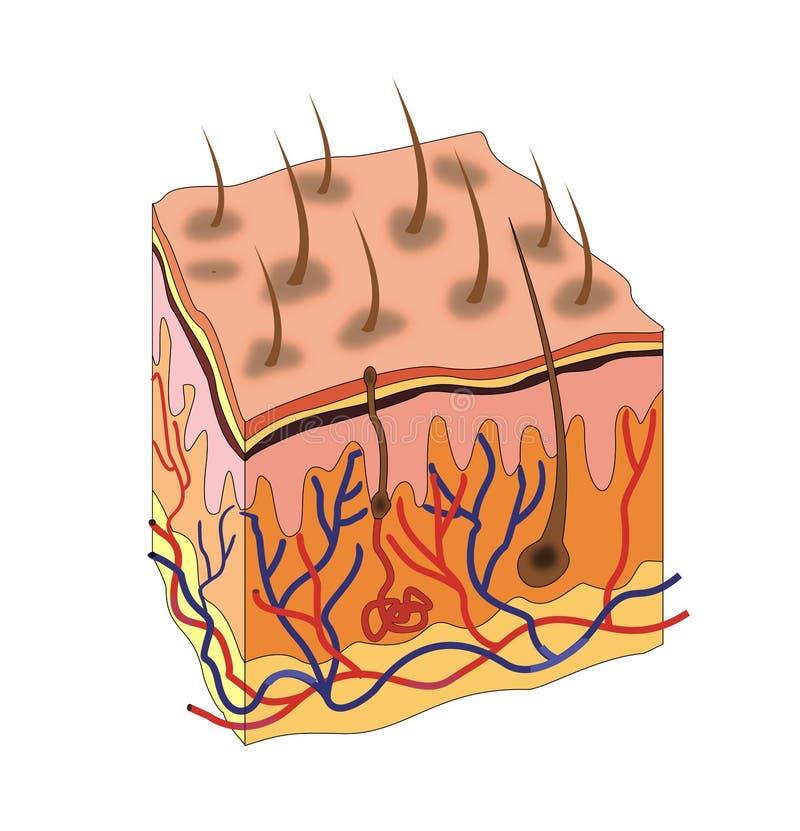 Anatomía de la piel stock de ilustración. Ilustración de dermis ...