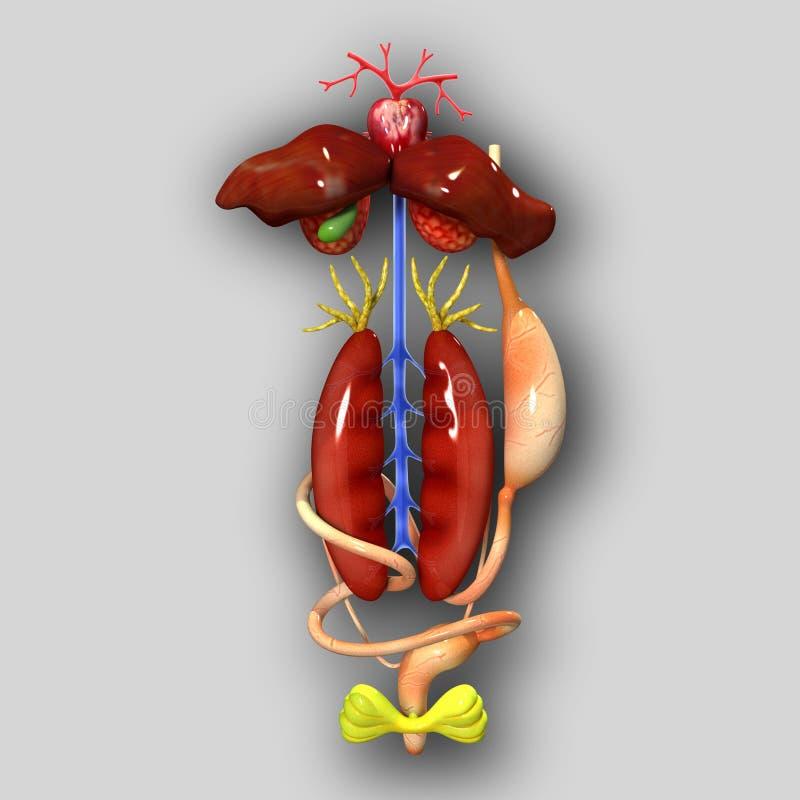 Anatomía de la rana stock de ilustración