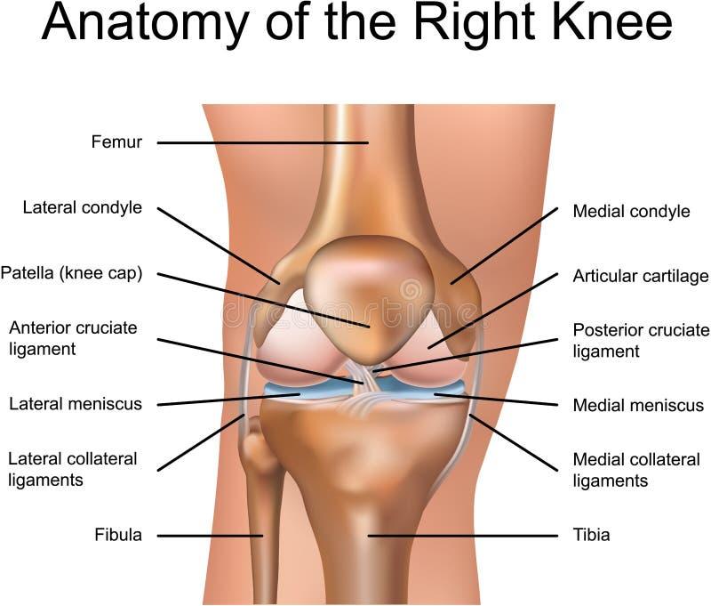 Anatomía de la rodilla derecha stock de ilustración