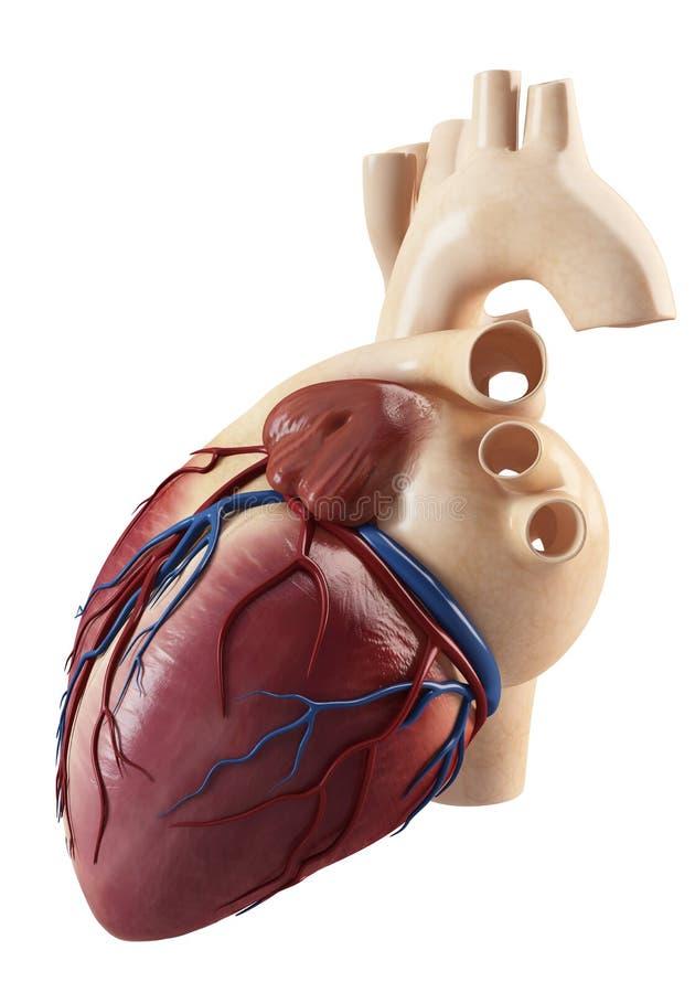 Anatomía de la vista lateral del corazón humano ilustración del vector