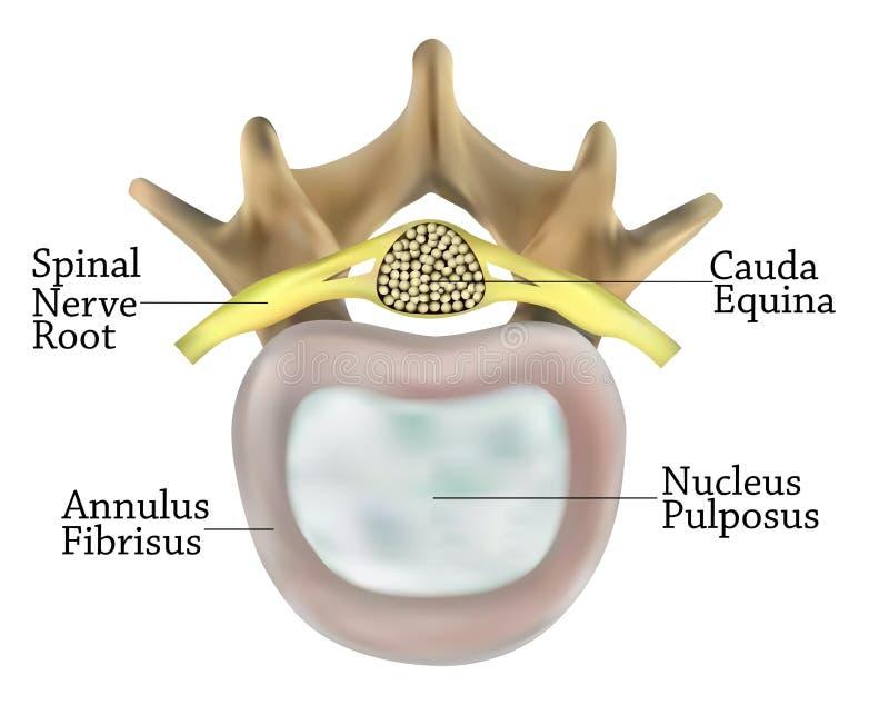 Anatomía de las vértebras stock de ilustración. Ilustración de ...