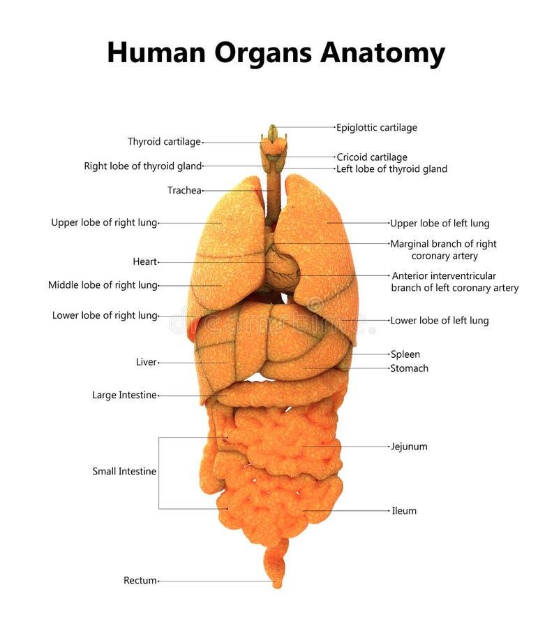 Anatomía De Los órganos Del Cuerpo Humano Con Las Etiquetas ...