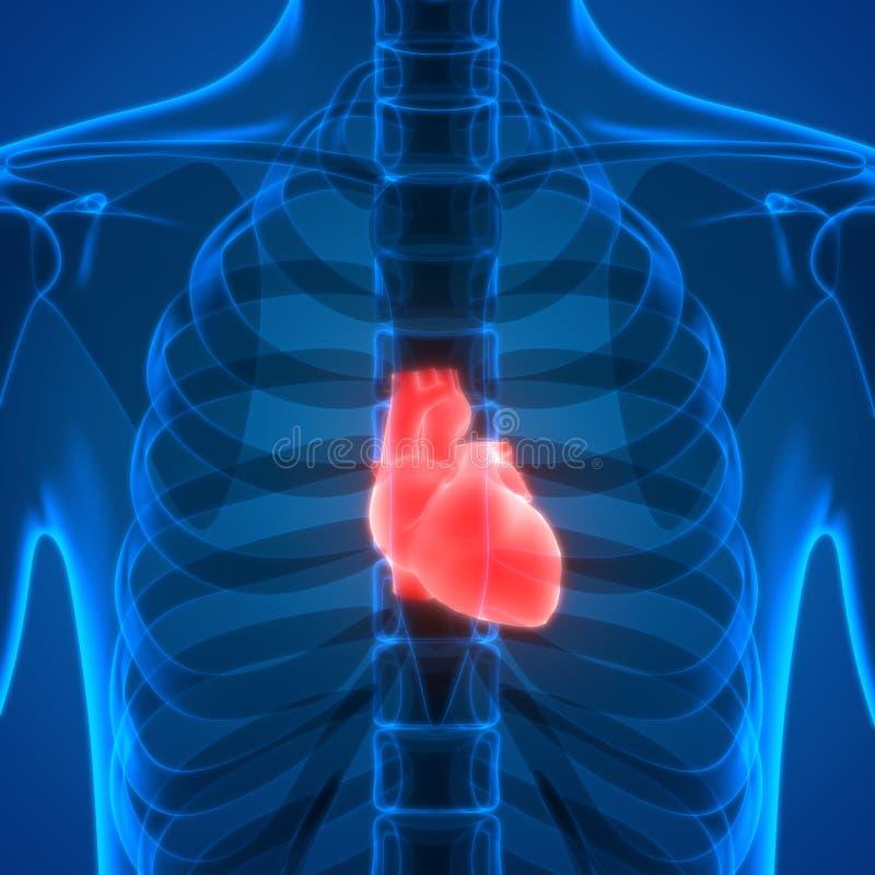 Atractivo Ubicación Del Corazón En El Cuerpo Humano Foto - Imágenes ...