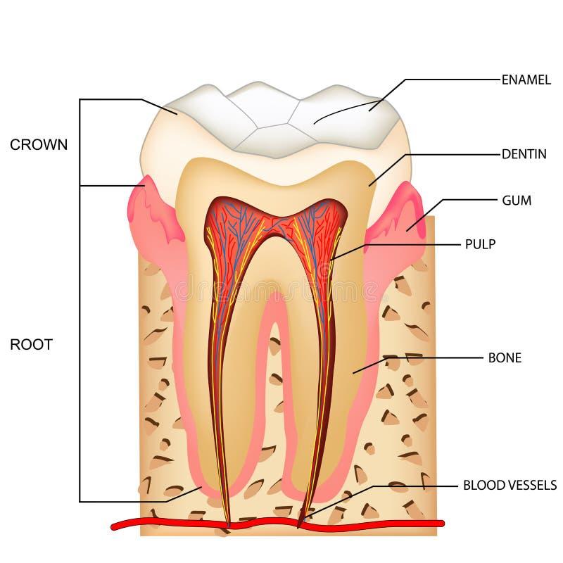 Anatomía de los dientes ilustración del vector