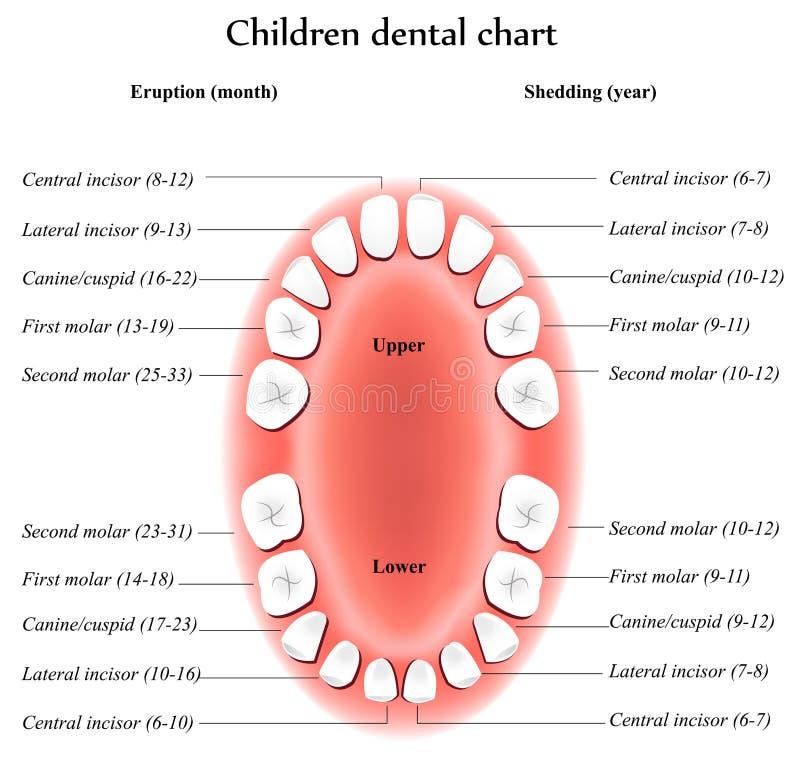 Anatomía de los dientes de los niños stock de ilustración