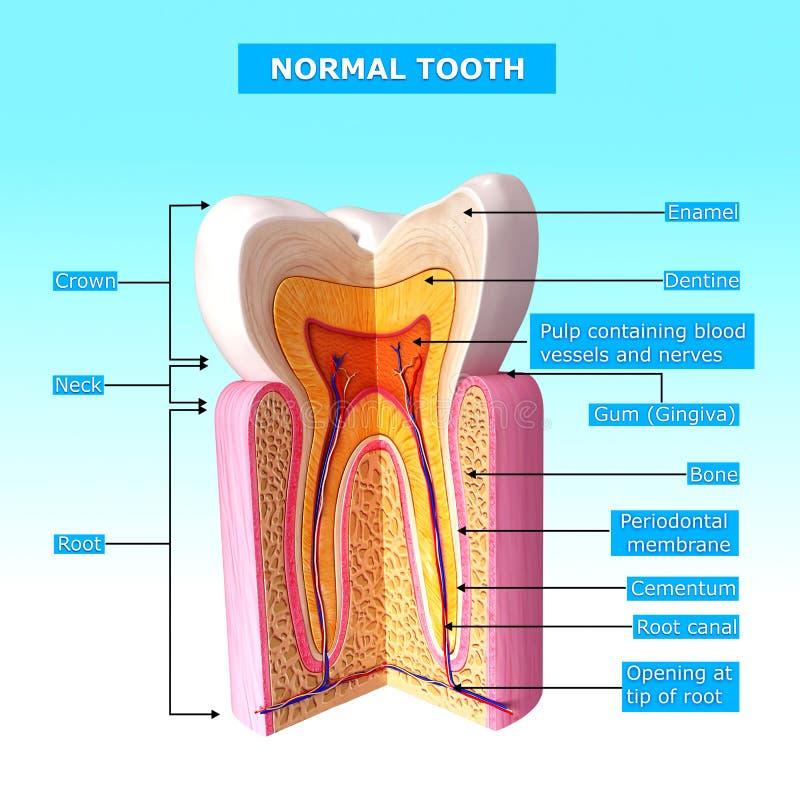 Anatomía de los dientes seccionados transversalmente ilustración del vector