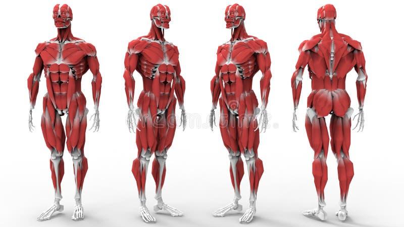 Anatomía De Los Músculos Y De Los Huesos Stock de ilustración ...