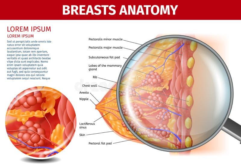 Anatomía de los pechos de la mujer Bandera seccionada transversalmente de la ayuda ilustración del vector