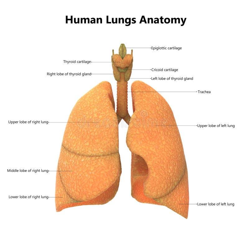 Anatomía De Los Pulmones De Los órganos Del Cuerpo Humano Con Las ...