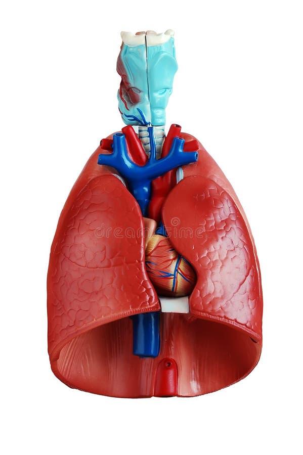 Anatomía de los pulmones foto de archivo